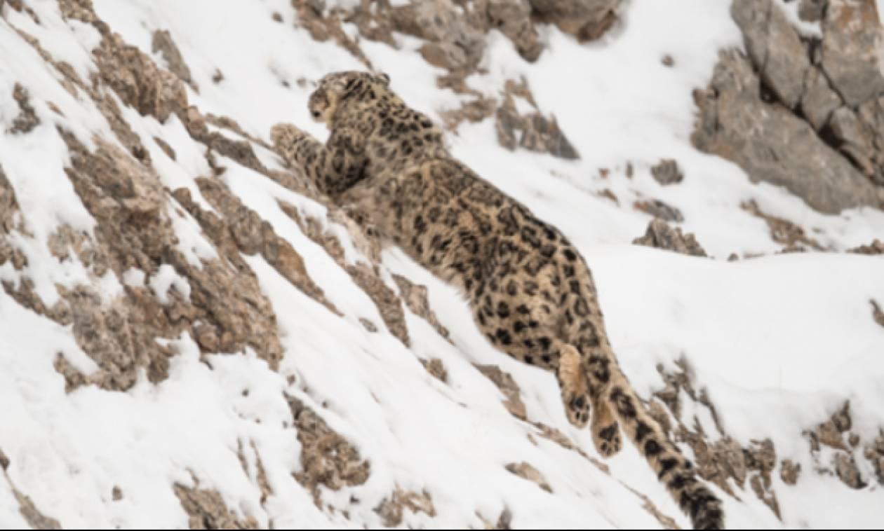 Βίντεο που κόβει την ανάσα: Λεοπάρδαλη βουτάει μαζί με το θήραμά της σε γκρεμό 120 μέτρων!