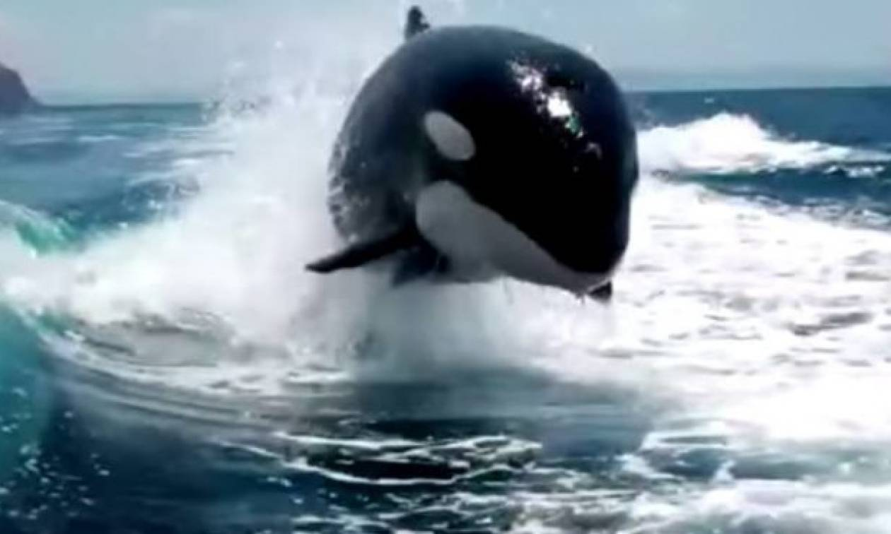Τρομερές σκηνές: Φάλαινες δολοφόνοι κυνηγούν ψαρόβαρκα με μανία! (vid)
