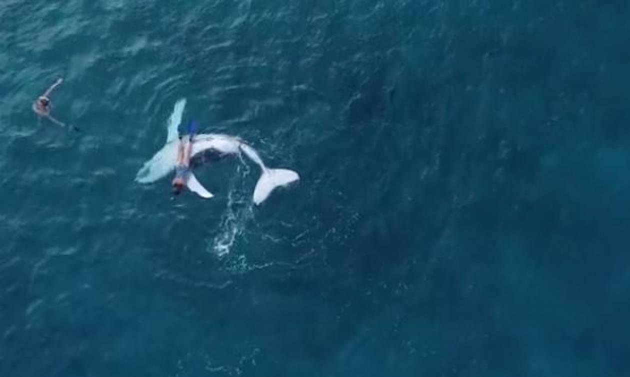 Επικό βίντεο! Μωρό φάλαινα αφήνει τη μαμά του για να παίξει με… δύτη (vid)