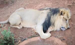 Εικόνες φρίκης στη Νότια Αφρική: Άγνωστοι δηλητηρίασαν και ακρωτηρίασαν λιοντάρια