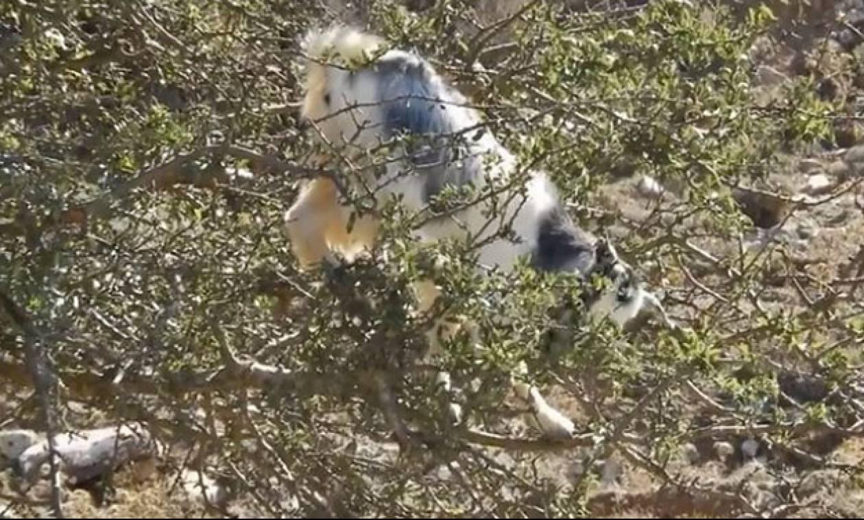Χαμό στο ίντερνετ προκαλεί η κατσίκα ακροβάτης των λασιθιώτικων βουνών (vid)