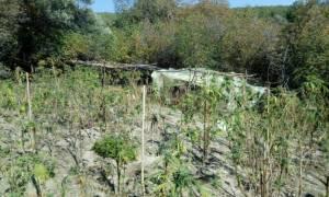 Καβάλα: Αλλοδαποί καλλιεργούσαν 115 δενδρύλλια κάνναβης μέσα στο δάσος (pics)