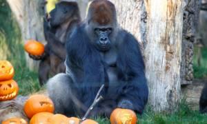 Το Χάλογουιν ήρθε νωρίτερα στο ζωολογικό κήπο του Λονδίνου: Τα ζώα έκαναν πάρτι με… κολοκύθες (vids)