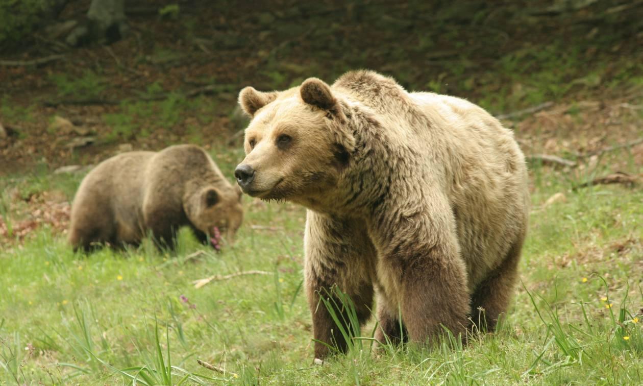 Θεσσαλονίκη: Νεκρή σε τροχαίο η μεγαλύτερη αρκούδα που έχει βρεθεί στην Ελλάδα