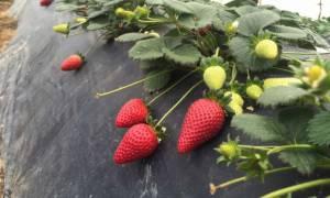 Παρέμβαση του Αρείου Πάγου για τις «ματωμένες φράουλες» στη Μανωλάδα