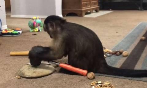 Η μαϊμού που σπάει καρύδια με… σφυρί (vid)