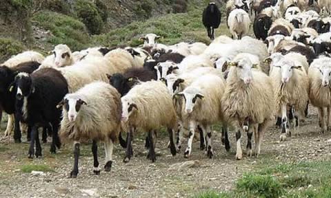 Τα… πρόβατα που έκαναν «ντου» στον Μαραθώνιο (video)