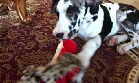 Σκύλος παίρνει μία πρώτη… γεύση από τα Χριστούγεννα (vid)