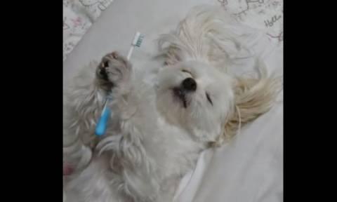 Σκύλος δεν μπορεί να κοιμηθεί εάν δεν «πλύνει» τα δόντια του (vid)