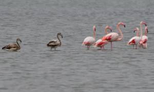 Φλαμίνγκο και αργυροτσικνιάδες: Τελευταία στάση για τα αποδημητικά πουλιά στο Ναύπλιο (pics)