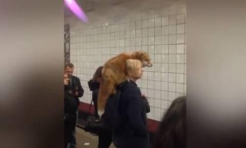 Απίστευτο! Μπήκε στο μετρό με την... αλεπού της