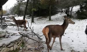 Το βίντεο της ημέρας: Τα ελάφια της Πάρνηθας μέσα στο χιόνι...