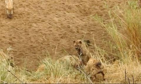 Η συγκλονιστική μάχη ενός λιονταριού ενάντια σε ένα πεινασμένο κοπάδι ύαινες (vid)