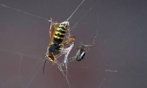 Η σφήκα που μετατρέπει τις αράχνες σε ζόμπι (photo)