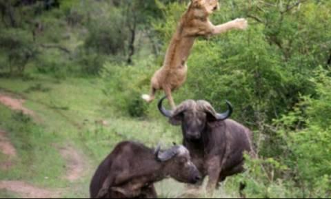 Δείτε τι έπαθε το λιοντάρι που τόλμησε να τα βάλει με μανιασμένους αγριοβούβαλους (vid)