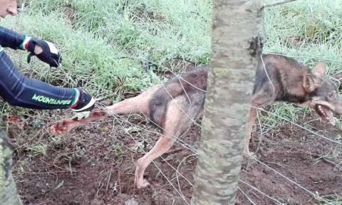 Βρήκαν λύκο παγιδευμένο σε σύρματα. Προσπάθησαν να τον σώσουν, μέχρι τη στιγμή της επίθεσης... (Vid)