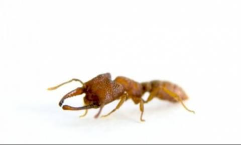 Δείτε το μυρμήγκι τέρας! Οι δαγκάνες του είναι πιο γρήγορες από Φεράρι (vid)